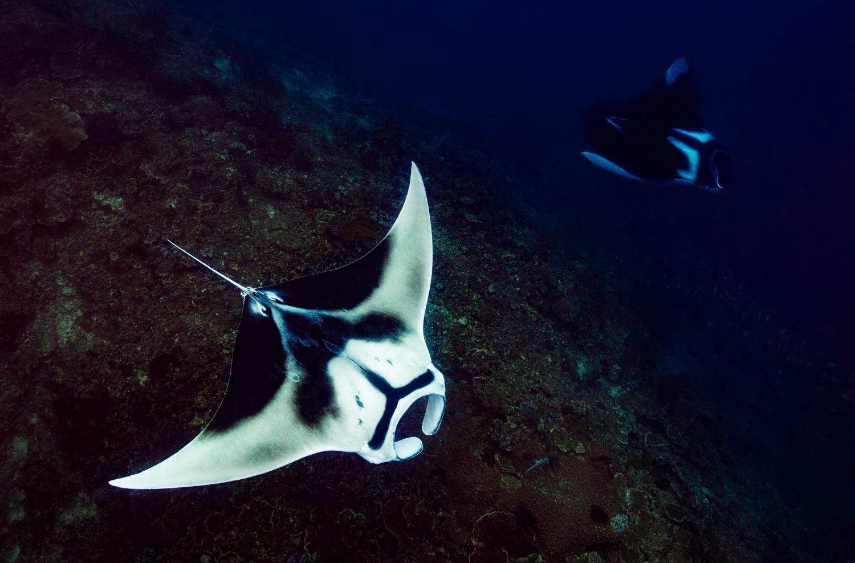 Manta Sandy Unterwasserwelt - Riesen Manta - einzigartige Tauchplätze Raja Ampat