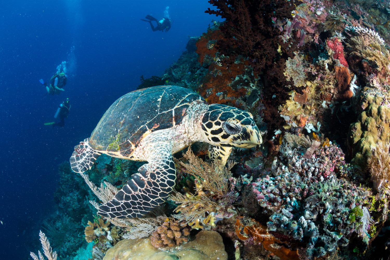 Mike-Spitze Unterwasserwelt - Schildkröte - einzigartige Tauchplätze Raja Ampat