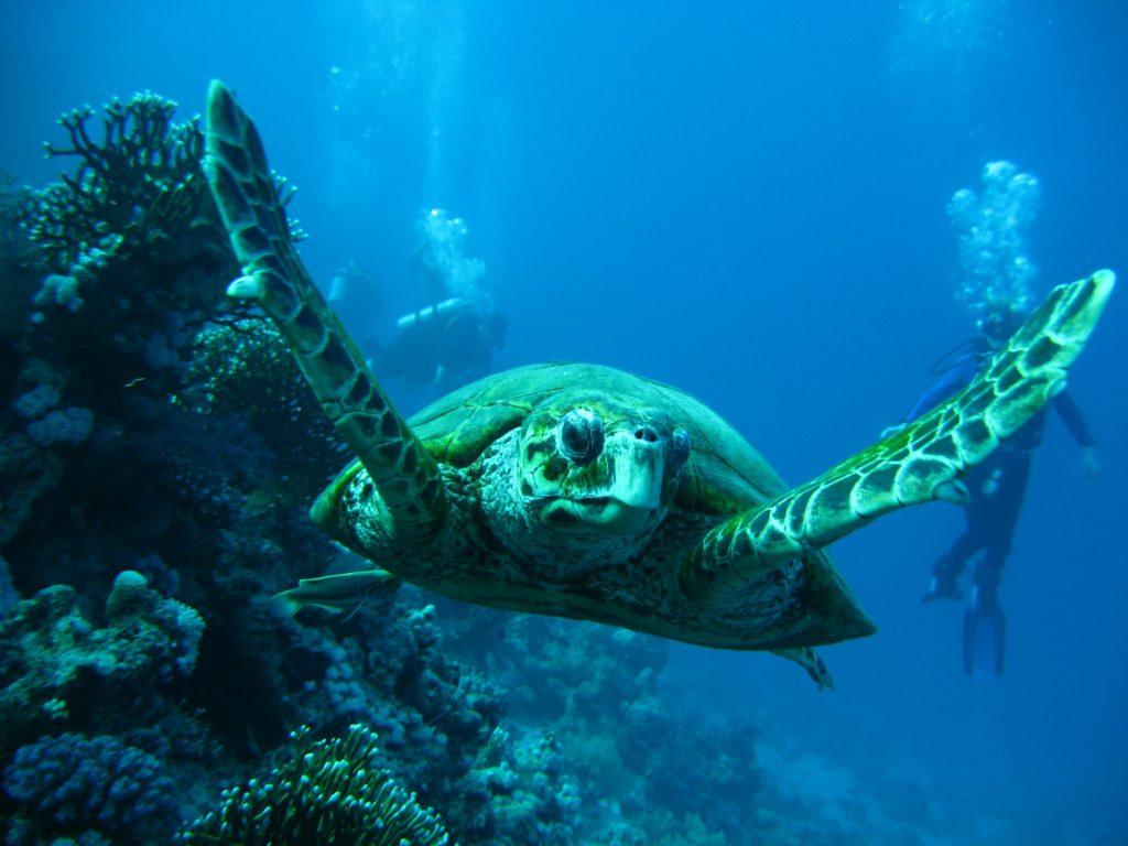 Buceo en Australia tortuga