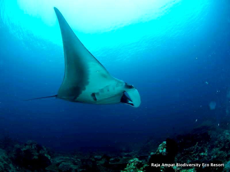 Raja ampat Snorkeling manta ray