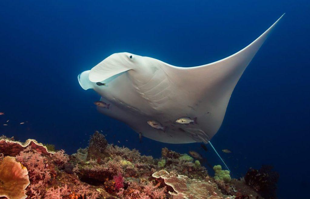 Dive master manta ray