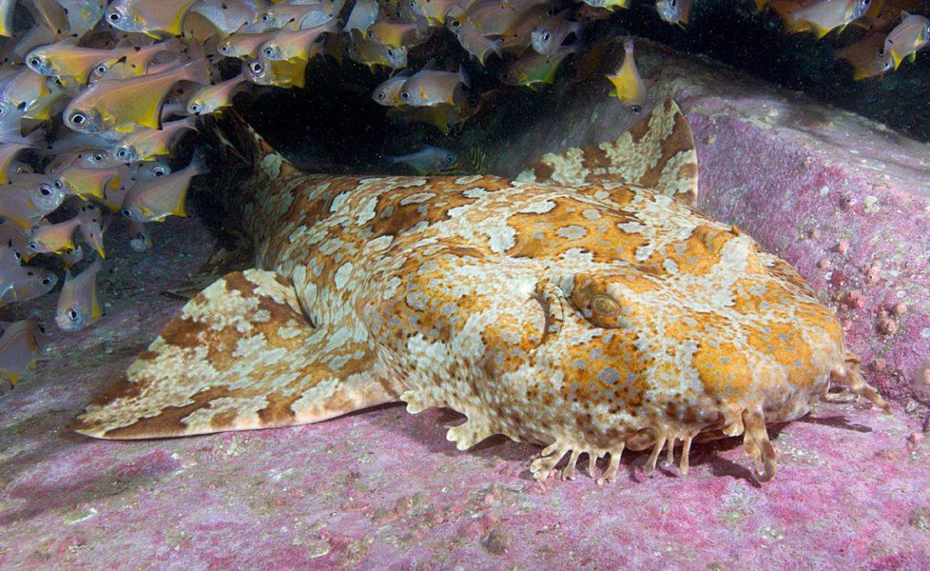 Tiburón alfombra