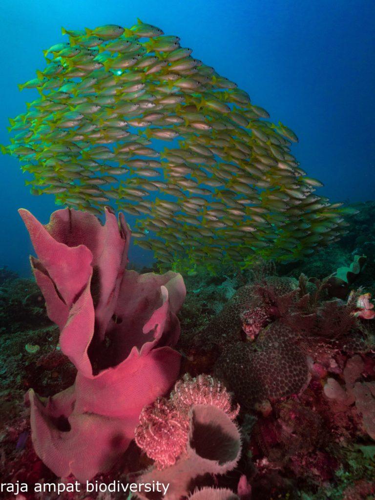En las prístinas aguas de Raja Ampat, las tortugas, los tiburones de punta negra, los tiburones endémicos Epaulette y Wobbegong, el tiburón gris de arrecife y un sinfín de peces vívidos, todos acuden a sus hogares naturales en los extensos arrecifes de coral.