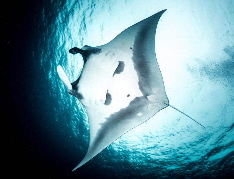 During Manta Season, you will get to experience the gently giants, often in groups socialising in cleaning stations we will visit.