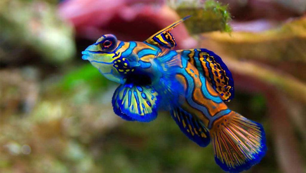 beau spécimen de poisson mandarin