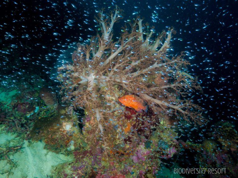 Im Raja Ampat Biodiversity Nature Resort haben wir ein spektakuläres Haus-Riff, nur einen Schritt von Ihrem Ferienhaus entfernt. - Der Korallengarten ist sehr fischreich und besitzt eine große Artenvielfalt. Der weiße Sandstrand erleichtert den Zugang und ist frei von Hindernissen. - Wir empfehlen Ihnen, ein paar Minuten am Steg zu verbringen, da dessen Pfosten voller Meereslebewesen sind: Diamantfische, Big Eye Trevally, Fledermausfische, Füsiliere, Schildkröten und Schwarzspitzenhaie. - Dies sind nur einige unserer Bewohner. Ein sehr häufiger Anblick ist der in der Region endemische Wanderhai.